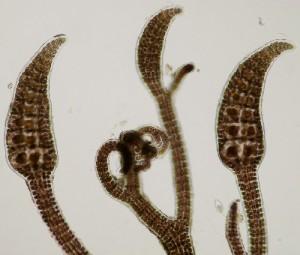 bostrychia-scorpioides